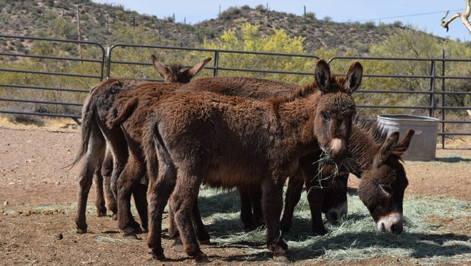 Miniature donkeys hang out at Triple R Horse Rescue in Cave Creek.