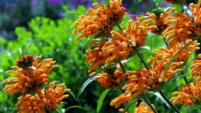 A show stopping plant in the landscape with whirls of orange flowers clustering up the entire stem of the plant.    This South African native exhibits dark green lance shaped leaves and can handle hot, sunny, dry conditions.  Many resources will list this as an evergreen plant, but in our demonstration gardens it freezes back in the winter.  Every year we cut it back and it reemerges fresh and new.
