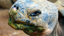 Ralph, a 100-year-old Galapagos tortoise, is leaving