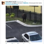 Police: Bulls in custody after escaping Baltimore slaughterhouse