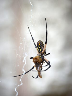 A female garden spider works at wrapping up a bark scorpion in a cocoon of silk before she hangs it until she's ready to eat the prey. Garden spiders are nearing the end of their one summer of web spinning and egg laying.