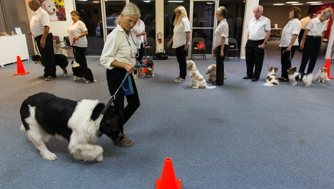 """Mickey Sterling, of Fort Myers, walks Yo-Yo, a Landseer Newfoundland, through the routine during the Greater Naples Dog Club precision drill team's practice at the PAWS Assistant Dogs facility in Naples, Florida on August 24, 2016. The team will perform on Friday, August 2nd at the Fort Myers Miracle ballgame for the """"Dog Daze of Summer"""" promotion."""