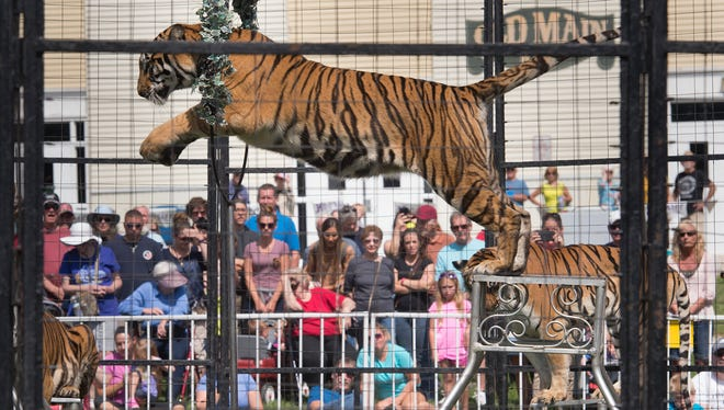 A tiger jumps between stands during the Bruno's Tigers show at the York Fair. The show runs through Sunday at 1 p.m., 3:30 p.m. and 6:30 p.m. Many come to enjoy the show, but some don't think the animals should be a part of the fair.