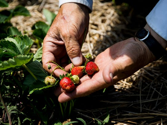 Jesse Landess inspects a row of strawberries at Landess
