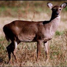 Deer stands in field.