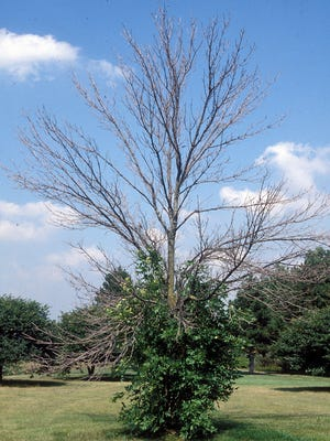 Despite the green at the base, there is no hope for this ash tree, which suffers from emerald ash borer damage.