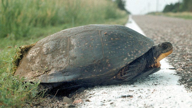 A Blanding's turtle starts to cross a road at Weaver Dunes near Kellogg, Minn., in 1999. Minnesota is one of the last states with a substantial population of the species.