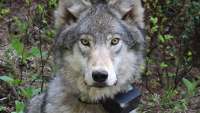 This March 13, 2014, file photo, provided by the Oregon Department of Fish and Wildlife shows a female wolf from the Minam pack outside La Grande, Ore., after it was fitted with a tracking collar.