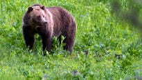 Officials have relocated two grizzlies to get them away from residential areas and livestock