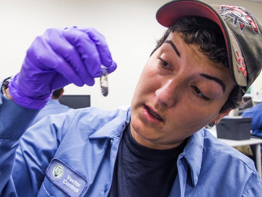 Megan R. Sports, a Maricopa County Environmental Services' vector-control lab technician, checks a vial of mosquitoes collected from Chandler and Mesa on Thursday, May 19, 2016. The fear of the Zika virus, which is spread by mosquitoes, has spurred the effort for local mosquito control.