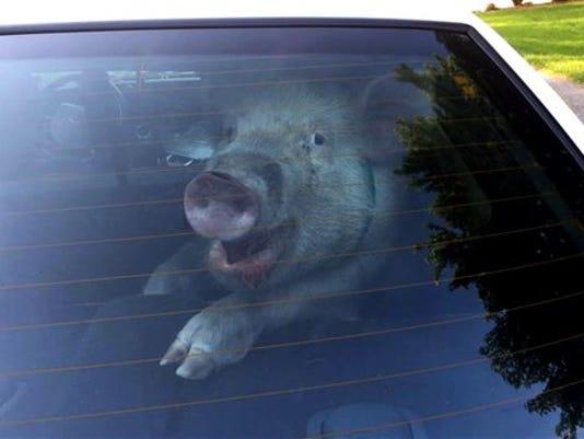ODD Stray Pig Captured