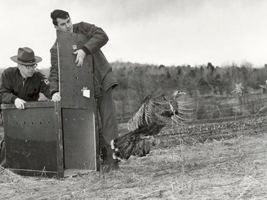 FILE - In this circa 1970 photo provided by the Vermont Fish & Wildlife Department, game warden Ross Hoyt, left, and biologist Joseph Artmann release a wild turkey in Saxtons River, Vt., at a time when they were almost gone from the Vermont countryside. In 2016, the birds that have come to symbolize Thanksgiving in the United States, number in the tens of thousands...a success story of wildlife restoration.