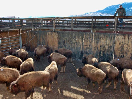 FILE - This March 9, 2016 file photo shows bison captured from Yellowstone National Park being held in a government research facility near Corwin Springs, Mont. Yellowstone National Park has started shipping hundreds of wild bison to slaughter for disease control as a quarantine facility that could help spare many of the animals sits empty because of a political dispute. Park officials said 15 bison originally slated for the quarantine on the Fort Peck Reservation were instead loaded onto trailers Wednesday and sent to slaughter. Hundreds more will be shipped in coming days. Transferring bison to the quarantine is opposed by Montana officials.