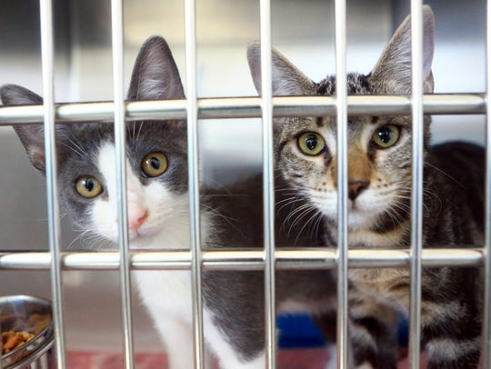 Two cats are placed for adoption on Thursday, Aug.