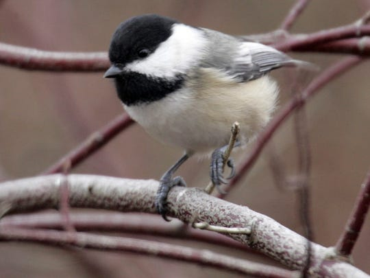 This black-headed chickadee was among the birds spotted in a recent Christmas Bird Count.