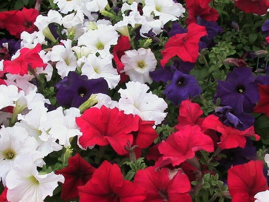 Petunias are often bought as starts but can be planted by seed.