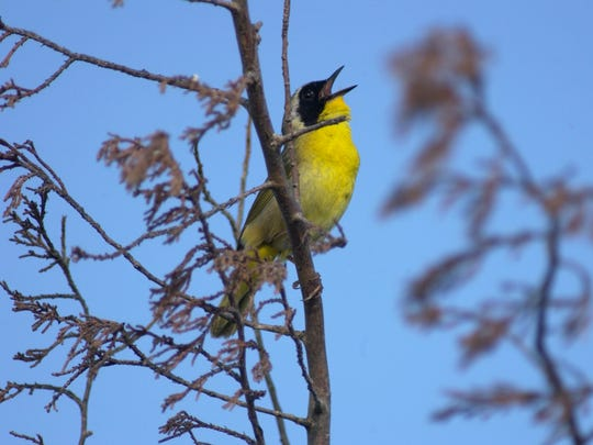 A yellow-throated warbler.