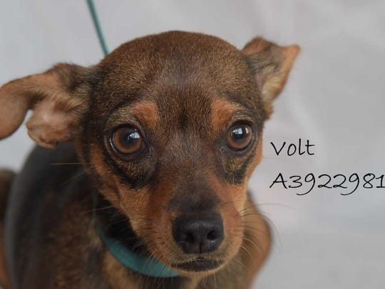 Volt - Female (spayed) Chihuahua mix, about 1 year