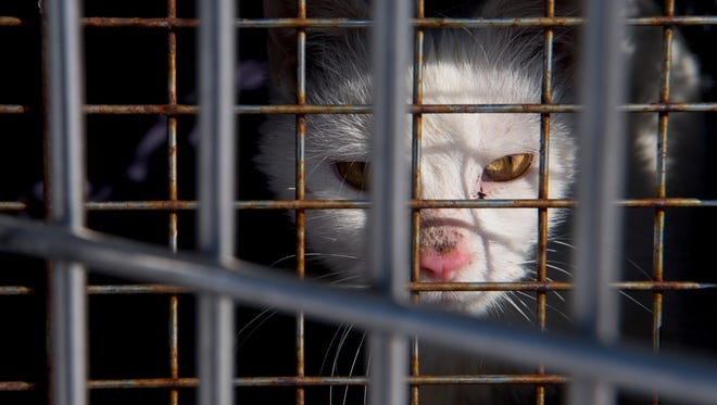 A cat peers from its crate in the back of the animal control truck after being removed from a home in the 2500 block of Lodge Avenue in Evansville Friday afternoon. The cat appeared to have a bleeding injury on its neck.