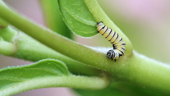 A monarch caterpillar crawls on a milkweed plant on South Creek on Friday, September 4, 2015.
