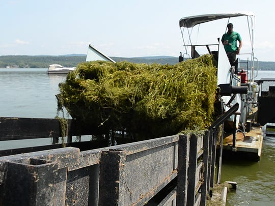 Overabundance: A weed harvester removes aquatic weeds from St. Albans Bay in August, 2013.