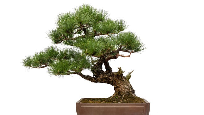 There is no known Bonsai emergency. Maybe you're over-watering yours.