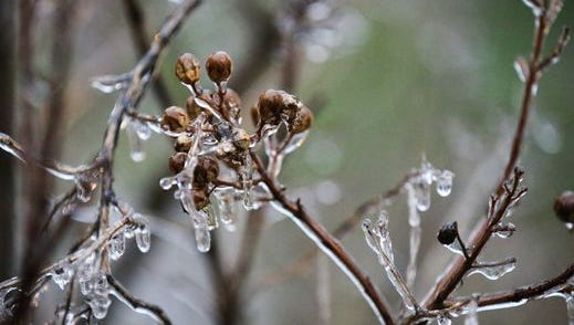 Ice encases a plant after temperatures dropped below freezing overnight Wednesday, Feb. 21, 2018, in San Angelo, Texas.