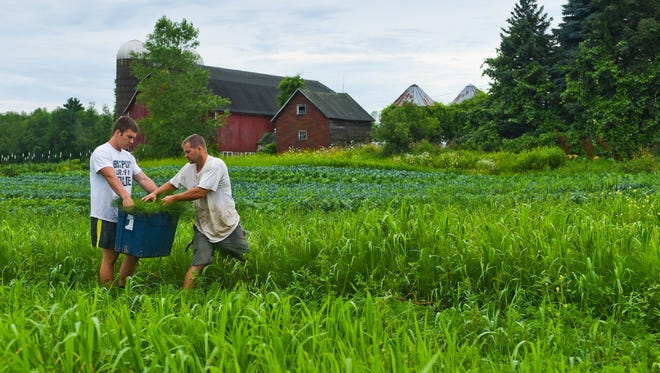 Joe Engebos and Groche Organic Farms owner Brian Gronski work together to harvest vegetables destined for CSA (community supported agriculture) members, whom they provide with weekly portions of fresh vegetables throughout the growing season.