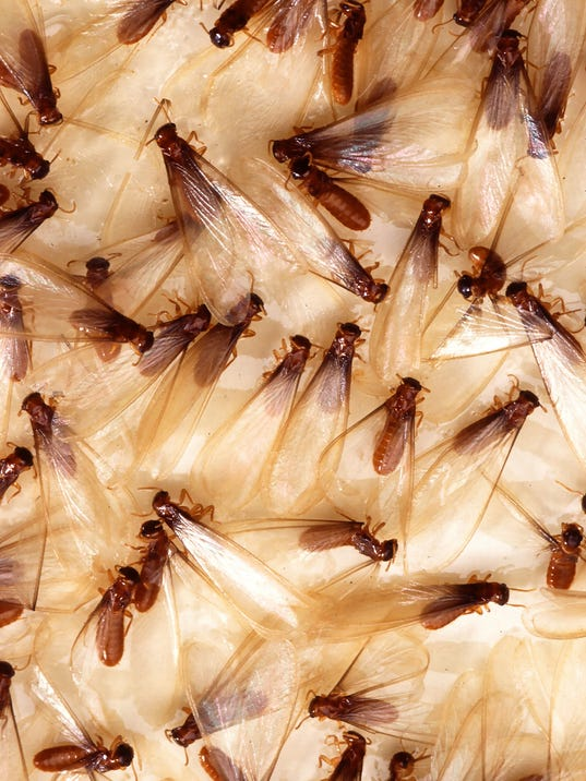 Formosan termites stuck to fly paper
