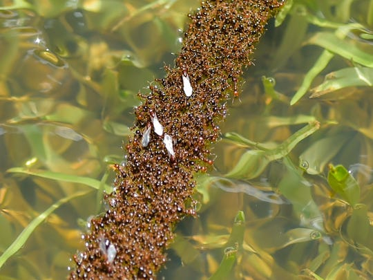 As flood waters rise, fire ants build nest on top of water.