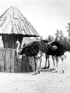 1974: A group of ostriches line up at a feeder to lunch.