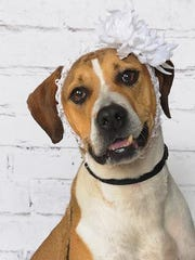 Pretty Miss Annabell is up for adoption at the SPCA of Brevard in Titusville. She is BDB's Doggo of the Week!