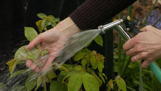 A periodic strong spray of water with the garden hose can work wonders with aphids on rose shoots and buds, bean plants, young broccoli and cabbage shoots and other infested garden foliage.