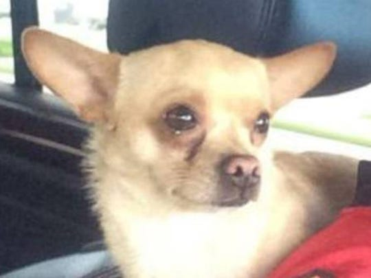 This little chihuahua went missing near Immokalee and Livingston roads.