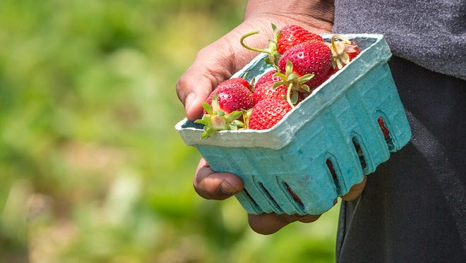 Visitors pick strawberries at a past year's Strawberry Festival at Landess Farm.