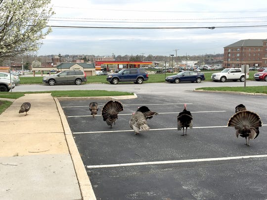 "These turkeys were seen about three weeks ago in the Brockie Medical Center parking lot. Christy Amig, a medical assistant at Spring Garden Family Practice who took the photos, said there were as many as 10 and they were ""minding their own business."""