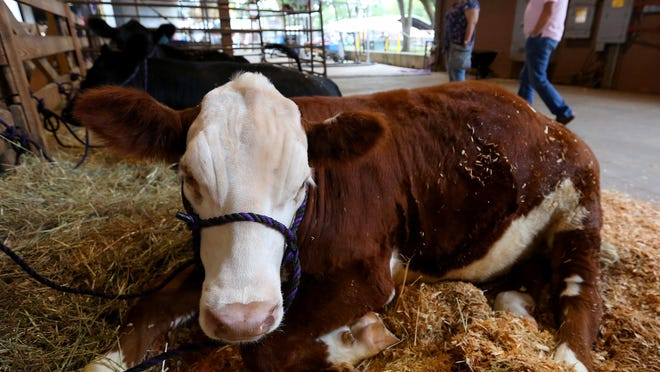 Red Box a Hereford steer rests in his stall during the 150th Oregon State Fair, Monday, August 31, 2015, in Salem, Ore. Cascade FFA students have been raising Red Box with the intention to donate his beef to the Marion-Polk Food Share.