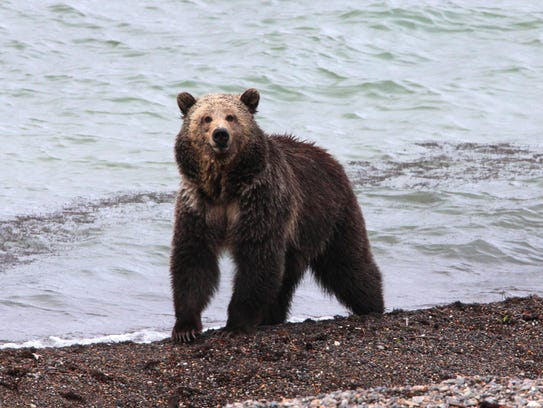A grizzly bear stands at Mary Bay along Yellowstone