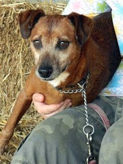 Chief is a senior neutered male mountain cur. He is