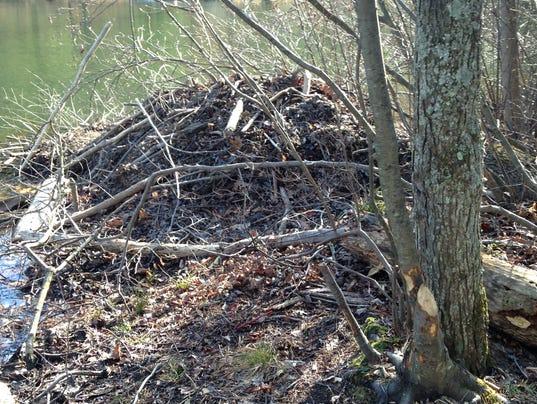 beaver-lodge-IMG-2250.JPG