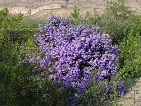 Leucophyllum-langmaniae-Rio-Bravo-Jimmy-Zabriskie.JPG