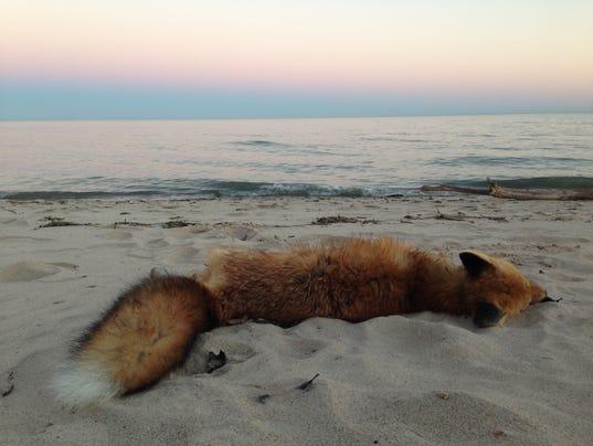 636172737438099460-Dead-fox-1.jpg