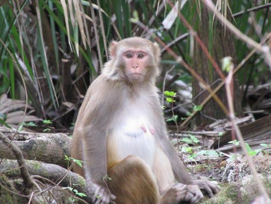 636360710283441844-macaque1.jpg