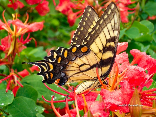 636615621009571872-Red-orchid-bush-Bauhinia-galpinii-David-W-Marshall.jpg