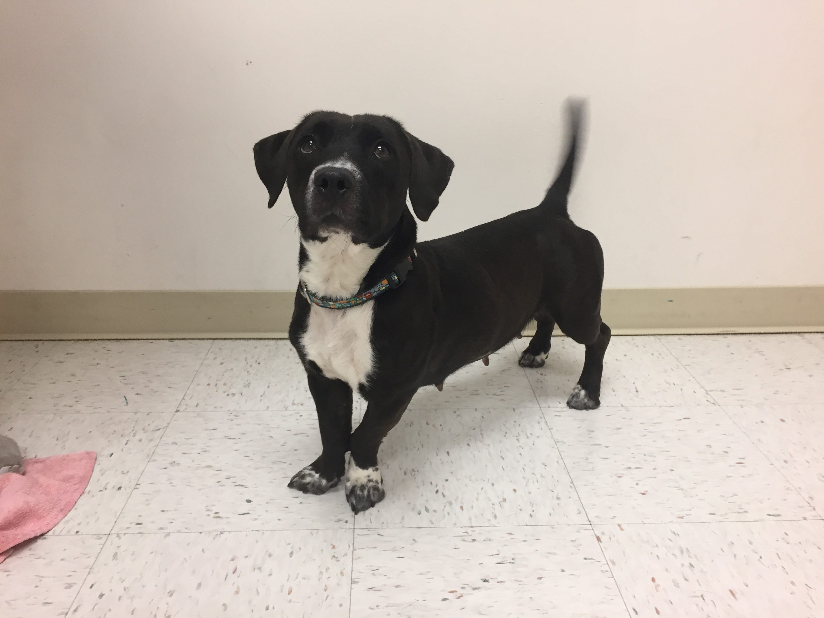 Clara Is A 4 Year Old Lab/basset Hound Mix. She Came In As A Stray, So We  Donu0027t Have Any Background Information On Her, But Those Short Little Legs  Kind Of ...