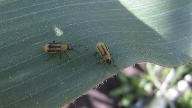 These western corn rootworm adult beetles emerge late June through August and lay eggs almost exclusively in corn fields from early August through early September.