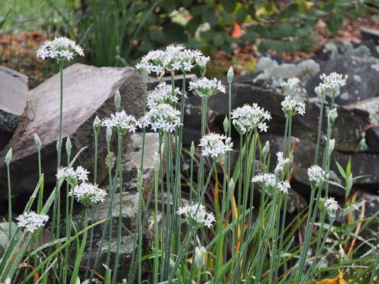Gardening-Garlic Chiv_Radw.jpg