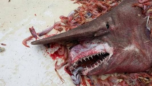 A dead goblin shark. A live specimen was caught and released April 30, 2014, in the Gulf of Mexico near the Florida Keys.