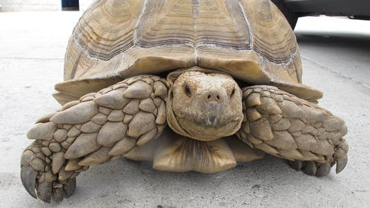 The Alhambra Police Department picked up a giant tortoise this weekend.