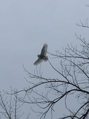 A snowy owl appears on Colchester Causeway around 3 p.m. Wednesday, March 7, 2018.